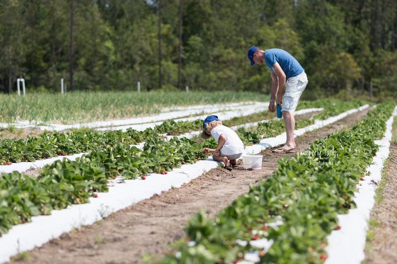 picking strawberries at Merck Farms in Kingsland GA